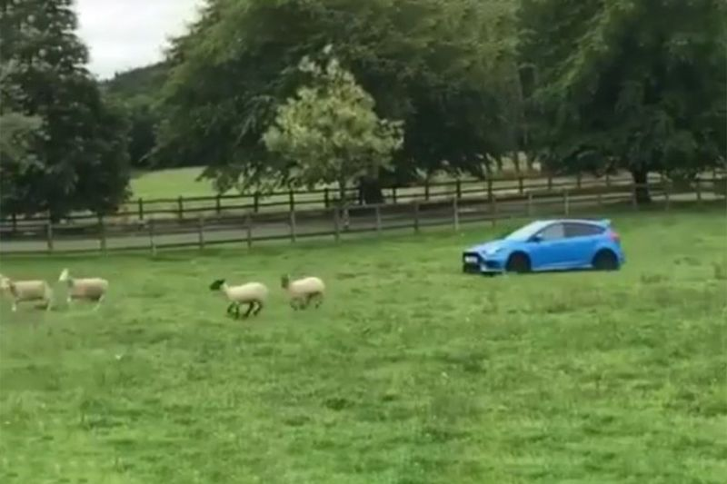 Ford Focus RS Sheep Dog 1